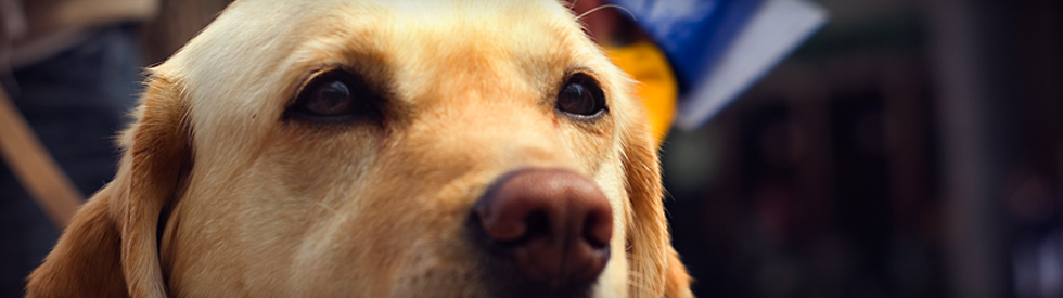 closeup of Guide Dog, nose and eyes